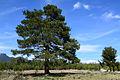 Pinus brutia - Kızılçam 03.JPG