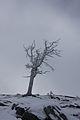 Pinus cembra hochfeld3720.JPG