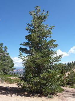 Pinus flexilis Bryce Canyon.jpg