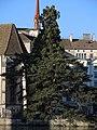 Pinus nigra und Sequoiadendron giganteum - Wasserkirche - Limmat - Stadhausquai 2014-05-24 19-33-51 (P7800).jpg