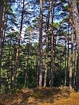 Pinus sylvestris 001.JPG