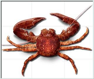 <i>Pisidia longicornis</i> species of crustacean