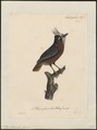 Pithys albifrons - 1825-1834 - Print - Iconographia Zoologica - Special Collections University of Amsterdam - UBA01 IZ16400331.tif