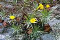 Pityopsis ruthii lg.jpg