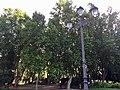 Plátanos de sombra en la Plaza de España, Madrid, España 2.jpg