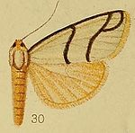 Pl.36-fig.30-Anaphosia astrigata Hampson, 1910.JPG
