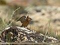 Plain Mountain Finch (Leucosticte nemoricola) (27970041770).jpg