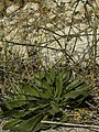 Plantago lagopus 3.jpg
