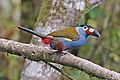 Plate-billed Mountain-Toucan 3 JCB.jpg
