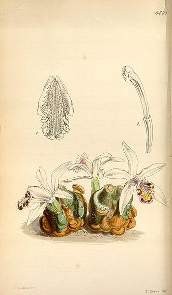 File:Pleione maculata (as Coelogyne maculata) - Curtis' 79 (Ser. 3 no. 9) pl. 4691 (1853).jpg