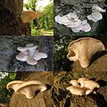 Pleurotus pulmonarius (GB= Pale Oyster or Indian Oyster, D= Sommer-Austernseitling or Lungenseitling, F= Pleuroto pulmonaire, NL= Bleke oesterzwam) white spores and causes white rot, at Italiaanseweg Doorwerth - panoramio (1).jpg