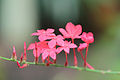Plumbago indica, fresh blossoms.jpg