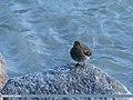 Plumbeous Water Redstart (Rhyacornis fuliginosa) (27071177462).jpg