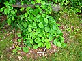 Podlaskie - Suprasl - Kopna Gora - Arboretum - Hydrangea petiolaris.JPG