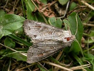<i>Polia bombycina</i> species of insect
