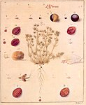 A 1731 illustration of the life cycle of Polish cochineal, around its host plant, Scleranthus annuus.