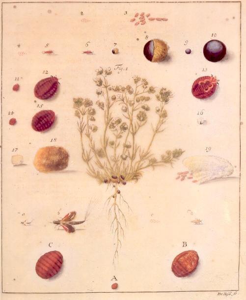 "Life cycle of the Polish cochineal in Breyne's ""Historia naturalis Cocci Radicum..."" (1731)"