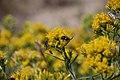 Pollinators0022 (38153548055).jpg
