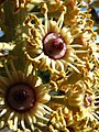 Polyscias racemosa (5454958035).jpg