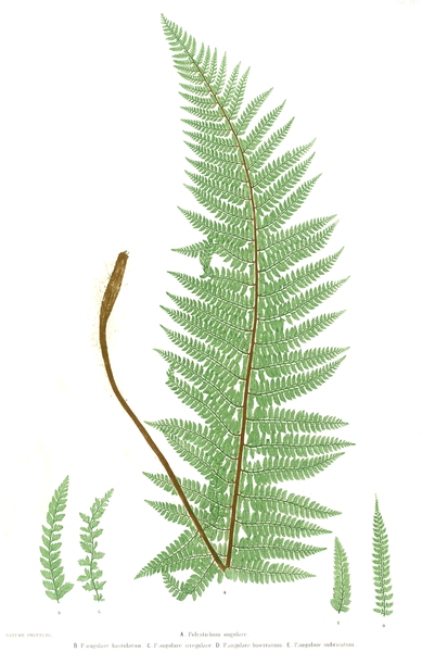 File:Polystichum setiferum Moore11.png