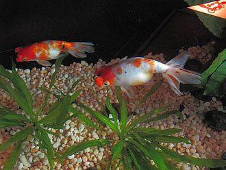 Pompom (goldfish) - A pair of pom pom goldfish