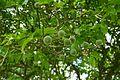 Poncirus trifoliata-Parc du Grand Blottereau (3).jpg