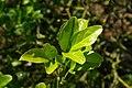 Poncirus trifoliatus, Conservatoire botanique national de Brest 04.jpg