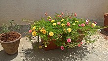 PortulacaGrandiflora-yellow-peach-white.jpg
