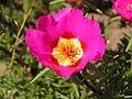 Portulaca grandiflora in Sedovo 004.jpg