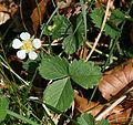 Potentilla sterilis (Barren strawberry) - Flickr - S. Rae.jpg