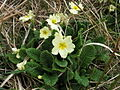 Primroses on Rum - geograph.org.uk - 151166.jpg