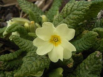 Primulales - Primula vulgaris