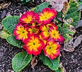 Primula cultivar in Jardins de la Fontaine in Nimes 04.jpg