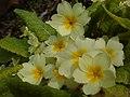Primula vulgaris.001 - Wick (Gloucestershire).jpg