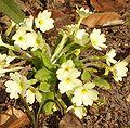 Primula vulgaris.jpg