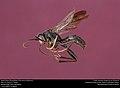 Priocnessus nebulosus male (40383351912).jpg