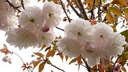 Prunus lannesiana 'Fugenzo'01.jpg