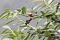 Prunus laurocerasus - Taflan, Giresun 2017-07-05 01-3.jpg