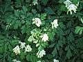 Pseudofumaria alba.jpg