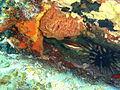 Pseudolabrus biserialis Redband wrasse and Phyllacanthus irregularis Western slate pencil urchin P1020928.JPG