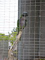 Psittacula derbiana -Paphos Zoo-3.jpg