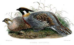 Koklass pheasant - P. m. xanthospila