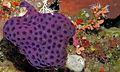 Purple Ascidian (Eudistoma reginum) (8478477354).jpg