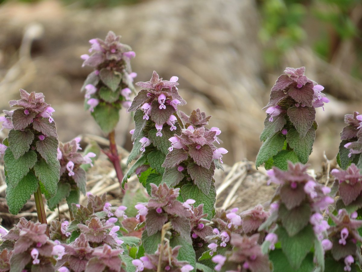 Purple Deadnettle (33611369505).jpg