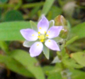 Purple Five Star Flower (9328645766).png