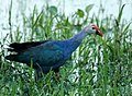 Purple Moorhen single (2744168162).jpg