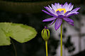 Purple Water Lily (14449480375).jpg