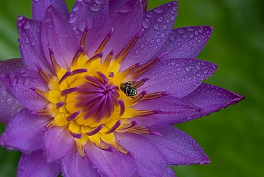Purple water lily with fly.jpg