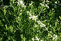 Pycnanthemum tenuifolium 001.JPG