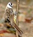 Pycnonotus goiavier.jpg